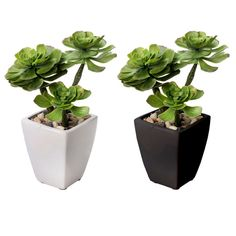 Succulent in Square Tapered Pot- 11 in.