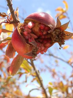 A pomegranate grows in Israel.  Nazareth Village, Israel. Nazareth Village is an open air museum that reconstructs and reenacts village life in the Galilee in the time of Jesus.  (V)