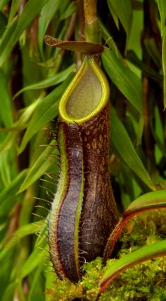 Nepenthus mikei