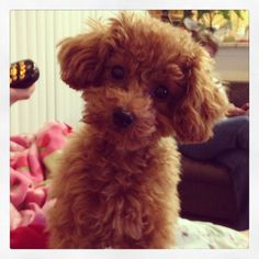 Alfie the red toy poodle 7 months old