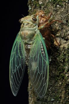 Cicada finished molting | by Mike D. Martin