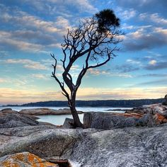 The infamous lone tree standing defiantly on the granite boulders of Binalong Bay on Tasmania's east coast. #Baum