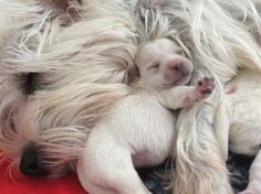 love all animals. Westies, Westie Puppies, Baby Puppies, Cute Puppies, Dogs And Puppies, Chihuahua Dogs, Animals And Pets, Baby Animals, Cute Animals