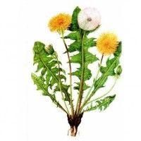 ....pampeliška má nečekané léčivé účinky - zastavuje růst rakovinných buněk :: Úspěšná léčba Healing Herbs, Cactus Plants, Health, Salud, Health Care, Cactus, Medicinal Plants, Healthy