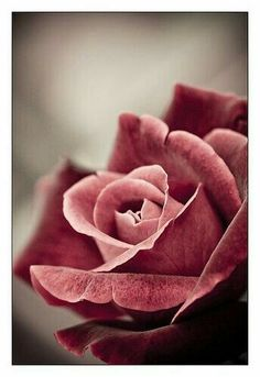 the rose…that a flower provides such beauty just by being a flower.makes you think. the rose…that a flower provides such beauty just by being a flower.makes you think. My Flower, Pretty Flowers, Pretty In Pink, Flower Petals, Coming Up Roses, Beautiful Roses, Simply Beautiful, Flower Making, Dusty Rose