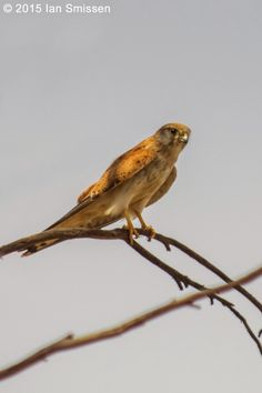 Nankeen Kestrel (female), Lake Kelly, Kerang Pentax K-3, Sigma 300mm f/22, ISO 400, f/5.6 1/4000