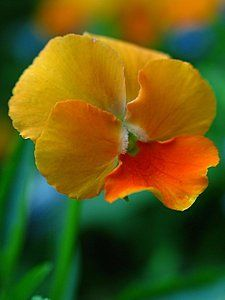 Pansy Flowers Photograph - Pansy by Juergen Roth