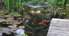 Fish are used to swimming underwater, but one guy decided to build an inverted aquarium and give them a chance to look around above the surface of their pond. The fish gathered quickly and appeared to be enjoying their new skyscraper.