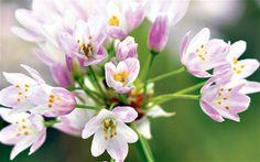 Allium roseum Allium, Garden Inspiration, Roses, Plants, Pink, Rose, Plant, Planets