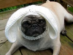 Knitted cone of shame for Pug.