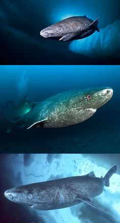 Scientists say Greenland sharks can live 400 years # Greenland . Weird Sharks, Greenland Shark, Ocean Aquarium, Funny Animals, Cute Animals, Shark Jaws, Sea Cow, Life Aquatic, Cool Photos