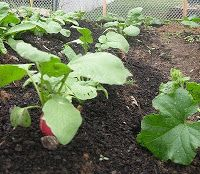 Vegetable Gardening - Four Easy Vegetables to Start from Seed