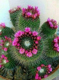mammillaria spinosissima un pico 🌵 Unusual Flowers, Unusual Plants, Rare Flowers, Amazing Flowers, Flowering Succulents, Cacti And Succulents, Planting Succulents, Planting Flowers, Cactus Pictures