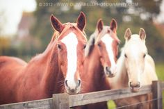 Portrait of 3 Horses. Available as Wall Art (Canvas, Poster, Mounted Print, Acrylic, Aluminium and Gloss Print: http://thebellsistersart.com/shop/portrait-of-3-horses/