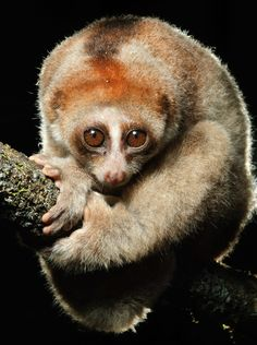 Scientists unmask a new primate species—a type of slow loris called Nycticebus kayan, a new study says.