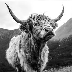 Skye Coo, Highland Cow Art Print, photography from the Isle of Skye, Scotland by emily eliza ellis. Art prints and more from Society 6 Highland Cow Art, Scottish Highland Cow, Highland Cattle, Highland Cow Tattoo, Highland Cow Painting, Baby Farm Animals, Baby Cows, Cute Animals, Cute Baby Cow