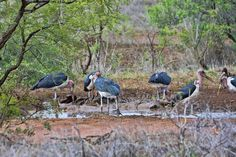 South Africa - Kruger Park (163) Marabou Storks and a White Backed Vulture