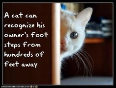 A cat can recognize his owner's foot steps from hundreds of feet away.