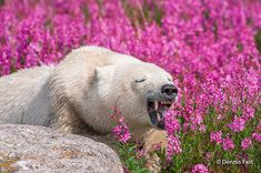 White Wolf : Canadian Photographer Captures Polar Bears Playing In Flower Fields Pictures Of Polar Bears, Bear Photos, White Wolf, Wildlife Art, Brown Bear, Science Nature, Beautiful Creatures, Champs, Animal Kingdom