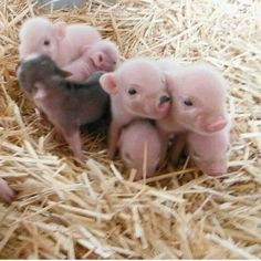 Today's share: pet pigs - Page 6 of 18 - Gloria Love Pets Cute Baby Pigs, Baby Animals Super Cute, Baby Piglets, Cute Piglets, Cute Little Animals, Cute Funny Animals, Cute Babies, Baby Teacup Pigs, Teacup Piglets