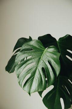 Monstera Deliciosa by Janneke Luursema Aesthetic Backgrounds, Aesthetic Iphone Wallpaper, Aesthetic Wallpapers, Plant Wallpaper, Green Wallpaper, Plant Aesthetic, Flower Aesthetic, Green Plants, Tropical Plants