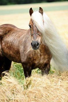 Haflinger, what a beautiful long flaxen mane this horse has and chocolate dapples