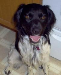 WA/BC-Champ is an adoptable Brittany Spaniel Dog in Seattle, WA. Champ is a 1.5 yo black and white French Brittany.  He is an imp and a charmer.  Champ is one of the smartest dogs his foster dad has e...