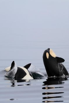 Wild Orca