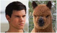 TEN ANIMALS THAT LOOKS LIKE CELEBRITIES TAYLOR LAUTNER BEAR A RESEMBLANCE TO THE ANIMAL ALPACA