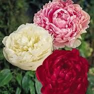 Peony Cotton Candy Mix: One each of pink Sarah Bernhardt, red Karl Rosenfield and white Shirley Temple. Beautiful Flowers, Plants, Flowers, Paeonia Lactiflora, Growing Peonies, Types Of Flowers, Peonies, Perennials, Fall Plants
