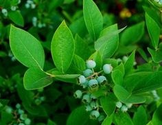 How to Grow Blueberry Bushes in Michigan