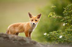 owls-n-elderberries:  Fox cub on the rock (Vulpes vulpes) by AlesGola