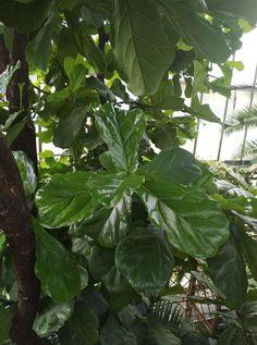 Ficus, Plant Leaves, Plants, Plant, Figs, Fig, Planets, Ficus Tree