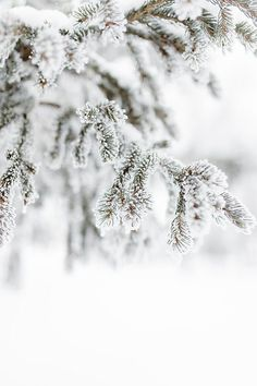 Detail of frost covered evergreen tree in winter by Carey Shaw - Stocksy United I Love Winter, Winter Day, Winter Is Coming, Winter Snow, Winter White, Christmas Tree Farm, Christmas Colors, Winter Christmas, Winter Scenery