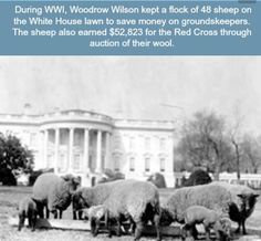 White House Facts-Why did President Woodrow Wilson keep a flock of sheep on the White House lawn? Sheep grazing on the South Lawn of the White House, c. Library of Congress ← previous pinner odd fact. Us History, American History, American Presidents, Asian History, History Memes, History Class, Strange History, Tudor History, British History