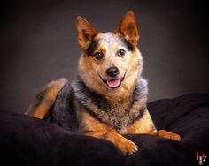 Lucy Blu Portrait: Cattle Dog / Pet Photography / Dog / Denver / Colorado / Studio / Pet Photographer