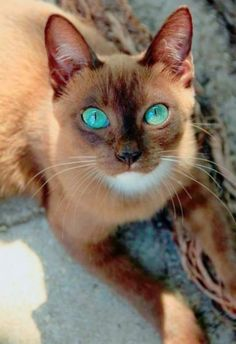 Great Snap Shots siamese cats snowshoe Suggestions Siamese cats should be recognized for their clean, more efficient figures, foamy layers and also distinctive Cute Cats And Kittens, Cool Cats, Kittens Cutest, I Love Cats, Crazy Cats, Big Cats, Pretty Cats, Beautiful Cats, Animals Beautiful