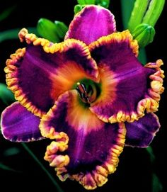 """""""John Peat"""" daylily   This makes me want to scoop a bite with a spoon.  AMAAAAAZING!"""