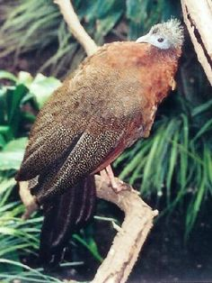 brown-plumaged pheasant