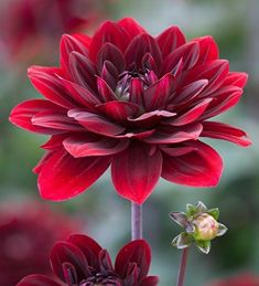 Dahlia Flower, Flower Art, Amazing Flowers, Beautiful Flowers, Flower Pictures, Cut Flowers, Rare Flowers, White Flowers, Flower Wallpaper