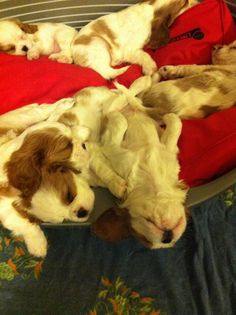 Cavalier King Charles Spaniels having a rest! All puffed out!