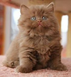 """Majestic Portraits of Maine Coon Cats That Become Mythical Creatures Nachkommen - """"KOTOFFSKI"""" Britisch Kurzhaar-Cattery Puppies And Kitties, Cute Cats And Kittens, Cool Cats, Kittens Cutest, Fluffy Kittens, Pretty Cats, Beautiful Cats, Animals Beautiful, Beautiful Pictures"""
