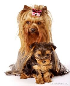 Yorkshire Terrier Dog and Puppies Dalmatian Puppies For Sale, Rottweiler Puppies, Cute Puppies, Dogs And Puppies, Yorkies, Yorkie Puppy, Yorkshire Terrier Dog, Terrier Dogs, York Terrier