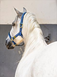 White Spanish horse print   Limited Edition   Photographic Print.
