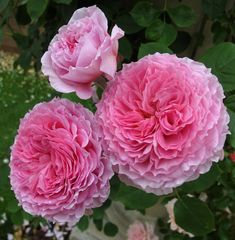 'James Galway' | Climber, Shrub,  English Rose Collection, David CH. Austin , 2000  | Flickr - © Susan Rusthon