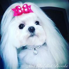 """CH Rhapsody's I'm No Party Girl """"Gretchen Ella retired #maltese #hairbow #swarovski"""