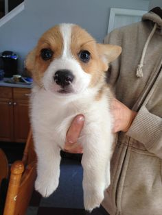 Remy the corgi puppy