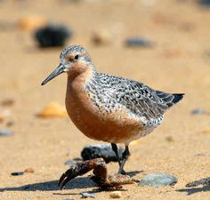 Red Knot () Like clockwork, the red knots arrive every spring, descending on the beaches of Delaware Bay to feast for a few weeks on horseshoe crab eggs and, in the process, double their body weight. The knots are delicate, robin-size shorebirds named for their salmon coloration and renowned for their marathon migration — more than 9,000 miles each way, from the southern tip of South America to the Canadian Arctic.