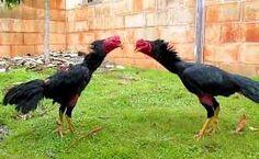 Ayam Juara: Kehebatan Ayam Magon VS Makhoe