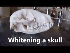 Cheap and doesn't make the skull brittle. This possum skull was in a friend's old boat. We were clea. Carved Skulls, Bull Skulls, Animal Skulls, Cow Skull Art, Sheep Skull, Antler Crafts, Antler Art, Skull Decor Diy, Crafts
